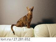 Абиссинская кошка, сидящая на спинке дивана. Стоковое фото, фотограф Bala-Kate / Фотобанк Лори