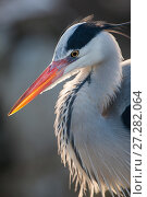 Купить «Grey heron (Ardea cinerea) adult in breeding plumage, close-up of head and colourful orange beak, backlit, Berlin Zoological Garden, Berlin Zoo, Germany. February.», фото № 27282064, снято 18 декабря 2017 г. (c) Nature Picture Library / Фотобанк Лори