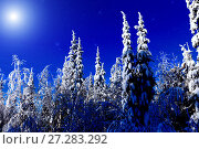 Купить «Moon over winter forest. Winter night landscape. Spruce forest in winter», фото № 27283292, снято 2 февраля 2014 г. (c) Евгений Ткачёв / Фотобанк Лори