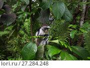 Купить «Zanzibar red colobus (Procolobus kirkii) female feeding on vegetation. Jozani-Chwaka Bay National Park, Zanzibar, Tanzania. May.», фото № 27284248, снято 21 января 2020 г. (c) Nature Picture Library / Фотобанк Лори