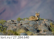 Andean fox (Pseudalopex culpaeus) Laguna Hedionda,  Altiplano, Bolivia. Стоковое фото, фотограф Bernard Castelein / Nature Picture Library / Фотобанк Лори