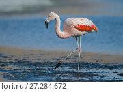 Chilean flamingo (Phoenicopterus chilensis) Laguna Canapa, Altiplano, Bolivia. Стоковое фото, фотограф Bernard Castelein / Nature Picture Library / Фотобанк Лори