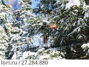 Купить «Красный блестящий новогодний шарик и другие игрушки висят на ветке заснеженной пихты (лат. Abies) в зимнем лесу», фото № 27284880, снято 28 января 2017 г. (c) Наталья Гармашева / Фотобанк Лори