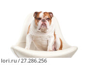 Купить «Dog breed English bulldog.», фото № 27286256, снято 5 апреля 2016 г. (c) Olesya Tseytlin / Фотобанк Лори
