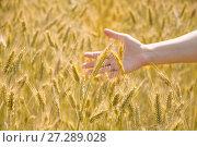 Купить «Женская рука трогает колосья ржи», фото № 27289028, снято 27 июля 2017 г. (c) Алёшина Оксана / Фотобанк Лори