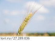 Колос ржи на фоне неба (Secale cereale) Стоковое фото, фотограф Алёшина Оксана / Фотобанк Лори