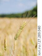 Купить «Колос ржи в поле (Secale cereale)», фото № 27289040, снято 5 июля 2010 г. (c) Алёшина Оксана / Фотобанк Лори