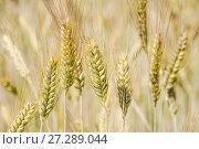 Купить «Колоски созревшей ржи (Secale cereale)», фото № 27289044, снято 5 июля 2010 г. (c) Алёшина Оксана / Фотобанк Лори