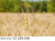 Колос ржи на поле (Secale cereale) Стоковое фото, фотограф Алёшина Оксана / Фотобанк Лори