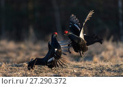 Купить «Black grouse (Lyrurus tetrix), males fighting at lek, Finland, April.», фото № 27290372, снято 25 апреля 2018 г. (c) Nature Picture Library / Фотобанк Лори