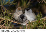 Купить «Blackcap (Sylvia atricapilla) female and two males huddling together for warmth before going to sleep, Finland, May.», фото № 27290440, снято 25 апреля 2018 г. (c) Nature Picture Library / Фотобанк Лори
