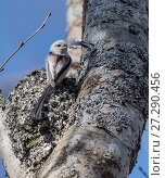 Купить «Long-tailed tit (Aegithalos caudatus caudatus) placing feather in nest, Finland. April.», фото № 27290456, снято 17 августа 2018 г. (c) Nature Picture Library / Фотобанк Лори