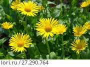 Купить «Дороникум (лат. Doronicum) цветет в саду», фото № 27290764, снято 27 мая 2017 г. (c) Елена Коромыслова / Фотобанк Лори