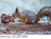 Купить «Рыжая белка ест орехи», фото № 27297500, снято 30 декабря 2015 г. (c) Литвяк Игорь / Фотобанк Лори