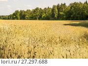 Купить «Поле созревшей посевной ржи (Secale cereale)», фото № 27297688, снято 27 июля 2017 г. (c) Алёшина Оксана / Фотобанк Лори