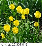 Купить «Желтые тюльпаны (лат. Tulipa)», эксклюзивное фото № 27309048, снято 7 июня 2017 г. (c) Елена Коромыслова / Фотобанк Лори