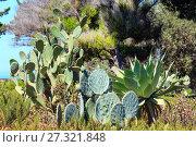 Купить «Blossoming cactus plant.», фото № 27321848, снято 14 июня 2017 г. (c) Юрий Брыкайло / Фотобанк Лори