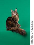 Brown Classic Torbie Maine coon cat sitting on green background. Стоковое фото, фотограф Сергей Дорошенко / Фотобанк Лори