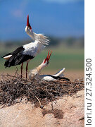 Купить «White stork (Ciconia ciconia) in the Los Barruecos natural park. Cáceres.», фото № 27324500, снято 14 апреля 2017 г. (c) age Fotostock / Фотобанк Лори