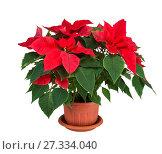 Купить «Пуансеттия, или рождественская звезда, в горшке на белом фоне изолировано», фото № 27334040, снято 28 декабря 2017 г. (c) Наталья Волкова / Фотобанк Лори