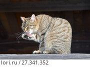 Купить «Серый полосатый дворовый кот умывается на мартовском солнышке», фото № 27341352, снято 2 марта 2017 г. (c) Овчинникова Ирина / Фотобанк Лори