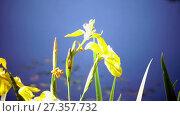 Купить «Iris pseudacorus yellow flag, yellow iris, water flag, lever is a species in the genus Iris, of the family Iridaceae», видеоролик № 27357732, снято 10 ноября 2009 г. (c) Куликов Константин / Фотобанк Лори