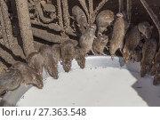 Купить «Asia, India, Rajasthan, Deshnok, Rats (reincarnated poets, bards and storytellers) at the Temple of Karni Mata (over 600 years), drink milk offered by pilgrims.», фото № 27363548, снято 8 февраля 2017 г. (c) age Fotostock / Фотобанк Лори