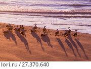 Купить «Common eider (Somateria mollissima) males ducks on beach at night, Patreksfjordur, Iceland, June. Winner of the Portfolio Award of the Terre Sauvage Nature Images Awards Competition 2017.», фото № 27370640, снято 19 января 2018 г. (c) Nature Picture Library / Фотобанк Лори