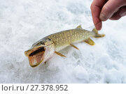 Купить «Just caught Pike with small bait fish in its mouth, ice winter fishing», фото № 27378952, снято 4 января 2018 г. (c) Сергей Дорошенко / Фотобанк Лори
