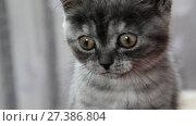 Купить «Close-up portrait of gray kitten of British breed», видеоролик № 27386804, снято 13 июня 2017 г. (c) Володина Ольга / Фотобанк Лори