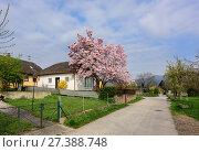 Купить «Цветущая магнолия во дворе деревенского жилого дома. Деревня Россацбах (Rossatzbach) в долине Вахау, Нижняя Австрия.», фото № 27388748, снято 3 апреля 2017 г. (c) Bala-Kate / Фотобанк Лори