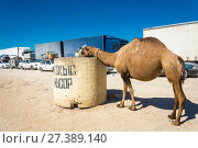 Купить «Camel grazing in the garbage can», фото № 27389140, снято 22 августа 2016 г. (c) Валерий Смирнов / Фотобанк Лори