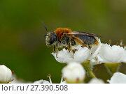 Купить «Mining bee (Andrena haemorrhoa) female collecting nectar from Hawthorn flower, Bedfordshire, England, UK, May», фото № 27390508, снято 22 апреля 2018 г. (c) Nature Picture Library / Фотобанк Лори