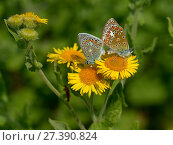 Купить «Two Common blue butterflies (Polyommatus icarus) mating on Common fleabane flowers (Pulicaria dysenterica), Vendee, France. July.», фото № 27390824, снято 19 августа 2018 г. (c) Nature Picture Library / Фотобанк Лори