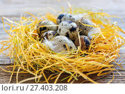 Купить «Motley quail eggs and feathers in nest closeup», фото № 27403208, снято 5 января 2017 г. (c) Марина Сапрунова / Фотобанк Лори