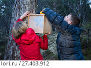 Becky Priestley, Wildlife Officer with Trees for Life, attaching transit box containing Red squirrel (Sciurus vulgaris) to tree, as part of reintroduction... Редакционное фото, фотограф SCOTLAND: The Big Picture / Nature Picture Library / Фотобанк Лори