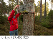 Becky Priestley, Wildlife Officer with Trees for Life, preparing cage trap to catch Red squirrels (Sciurus vulgaris) as part of reintroduction to the north west Highlands, Moray, Scotland, UK. Редакционное фото, фотограф SCOTLAND: The Big Picture / Nature Picture Library / Фотобанк Лори