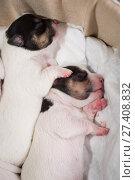 newborn puppies breed jack russel terrier sleeping. Стоковое фото, фотограф Типляшина Евгения / Фотобанк Лори