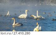 Купить «Swans on lake in the morning mist at early morning», видеоролик № 27410280, снято 18 марта 2016 г. (c) Serg Zastavkin / Фотобанк Лори