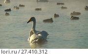 Купить «Swans on lake in the morning mist at early morning», видеоролик № 27410312, снято 19 марта 2016 г. (c) Serg Zastavkin / Фотобанк Лори