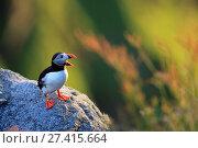 Купить «Papageitaucher am Vogelfelsen», фото № 27415664, снято 22 января 2018 г. (c) age Fotostock / Фотобанк Лори