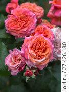 Купить «Цветущая роза в саду крупным планом», фото № 27426180, снято 29 июля 2017 г. (c) Ольга Сейфутдинова / Фотобанк Лори