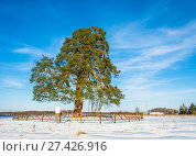Купить «Lonely ancient 500 year old branched pine tree», фото № 27426916, снято 23 ноября 2016 г. (c) Валерий Смирнов / Фотобанк Лори