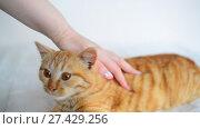 Купить «Female hand strokes a Red-haired kitten at age of 5 months», видеоролик № 27429256, снято 2 января 2018 г. (c) Володина Ольга / Фотобанк Лори