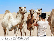 Woman taking pictures of a group of camels in the Desert, Abu Dhabi, United Arab Emirates. Стоковое фото, фотограф Zoonar/David GABISDa / age Fotostock / Фотобанк Лори