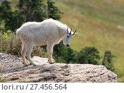 Купить «Schneeziege Mountain Goat Glacier National Park», фото № 27456564, снято 28 января 2020 г. (c) age Fotostock / Фотобанк Лори