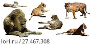 Купить «Set of lion and other big wildcats. Isolated over white», фото № 27467308, снято 15 октября 2018 г. (c) Яков Филимонов / Фотобанк Лори