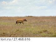 Spotted hyena, Africa (2008 год). Стоковое фото, фотограф Знаменский Олег / Фотобанк Лори