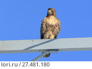Купить «A red-tailed hawk is perched on a metal post against a blue sky on the Rathdrum Prairie in north Idaho.», фото № 27481180, снято 23 декабря 2017 г. (c) easy Fotostock / Фотобанк Лори