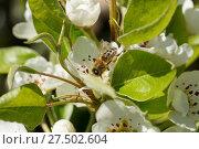 Купить «Pyrus communis, Pear Tree, with bee», фото № 27502604, снято 20 октября 2018 г. (c) age Fotostock / Фотобанк Лори